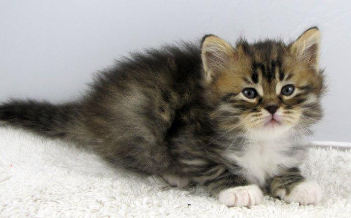 Beware; Buying a Siberian Kitten; before you buy a kitten