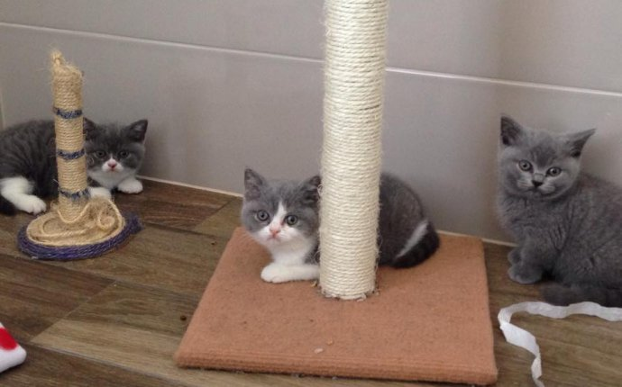 British Shorthair Kittens Available for Sale — Cuddleton British