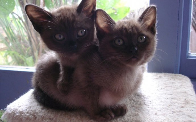 Burmese Cats For Adoption Melbourne - Cats & Kittens