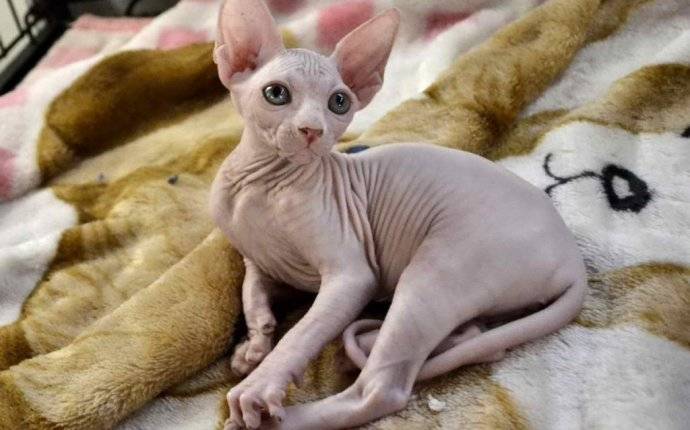 Hairless Cat Breeds For Adoption With Sphynx Cats For Adoption