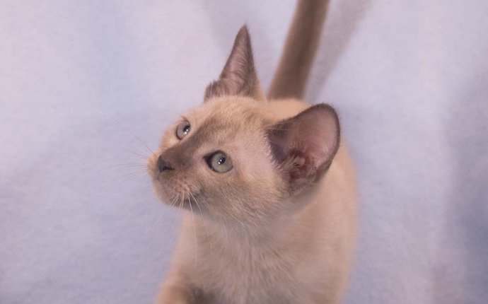Kittentanz Cattery - Traditional Siamese and Tonkinese