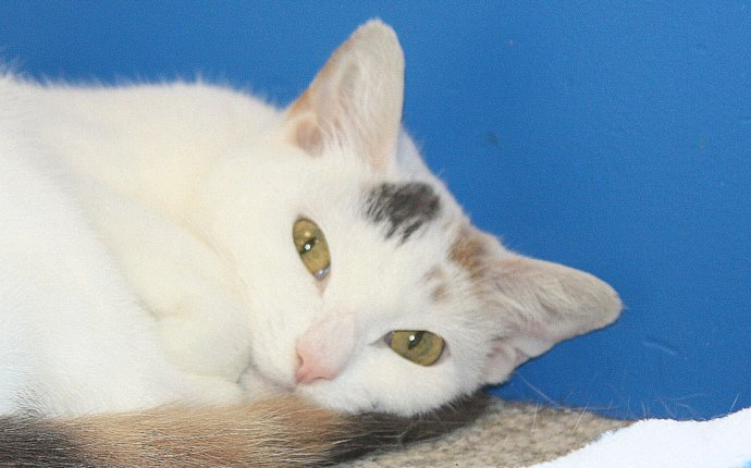 Peppermint Patty - Northeast Animal Shelter | cats for adoption