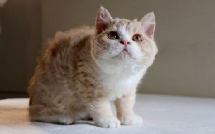 Rex cats for adoption - Cats & Kittens