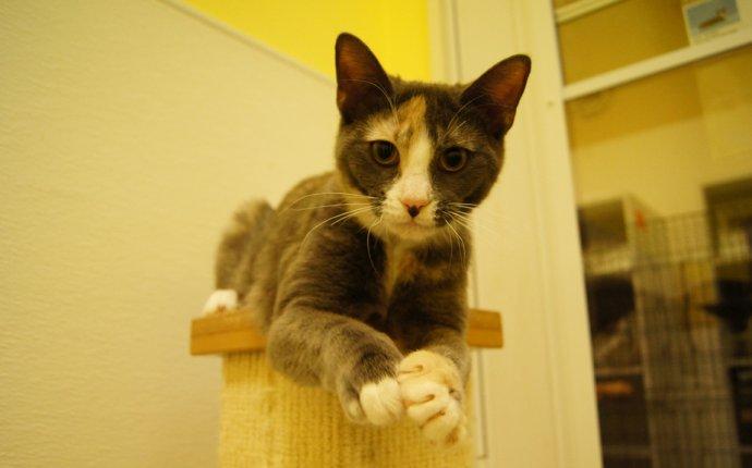 Tyche | Cat Angels Pet Adoptions | Deborah Fox | Flickr